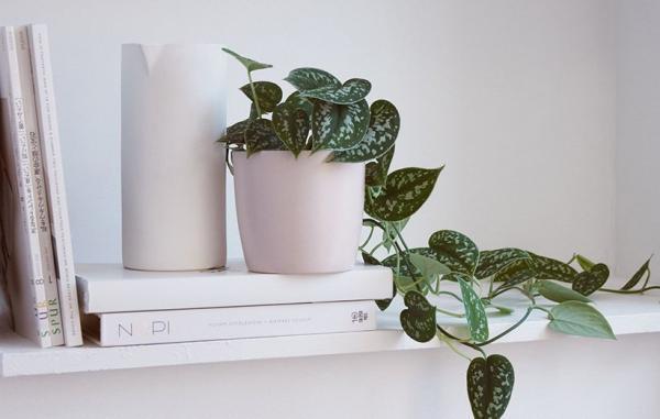 راهنمای پرورش و نگهداری گیاه پوتوس ساتین در خانه